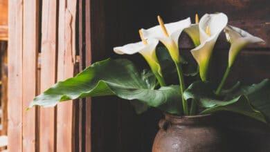 Photo of Cultiver l'Arum à la maison ou dans son jardin