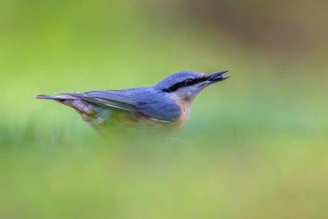 La sittelle torchepot, un petit oiseau de nos forêts