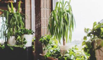 Mettez une touche d'exotisme avec le yucca