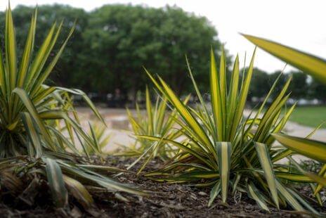 Yucca, une plante exotique très répandue