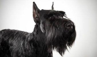 Découvrez toutes les caractéristiques, les curiosités, le caractère et les standards du pedigree des chiens Schnauzer