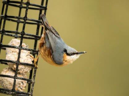Boule de graisse : pour nourrir les oiseaux pendant l'hiver