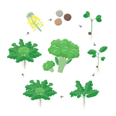 Huile de brocoli DIY