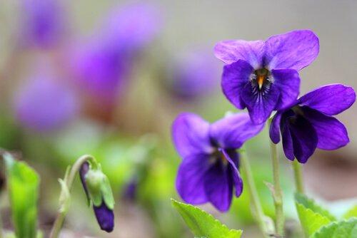 Photo of La violette odorante, antitussive, émolliente et délicieuse
