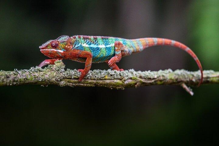 Caméléon, un reptile aux capacités exceptionnelles