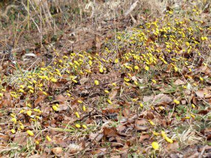 Une plante invasive dans votre jardin