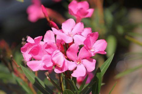 Fleur rose : les espèces représentatives