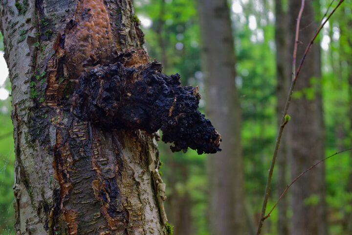 Photo of Le chaga : un champignon étonnant aux multiples propriétés médicinales