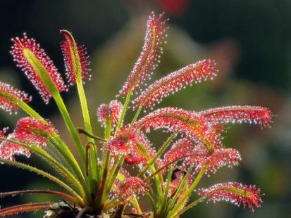 Droséra : cette plante carnivore aux vertus antitussives