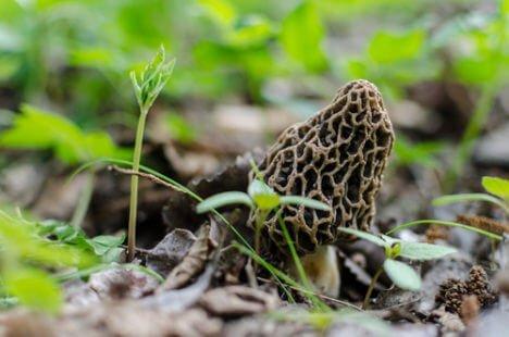 La morille, ce champignon de printemps