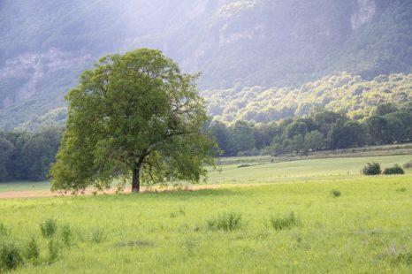 Noyer : présentation de cet arbre célèbre