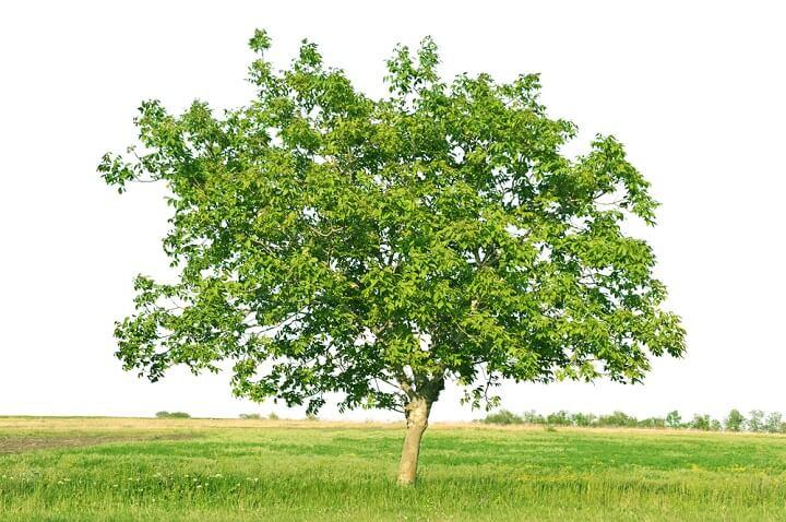 Photo of Le noyer : un arbre imposant, célèbre et très prisé