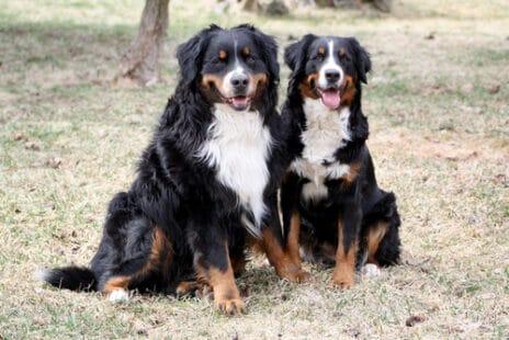 Deux beaux chiens