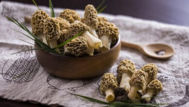 Photo of La morille, ce champignon qui annonce le printemps !