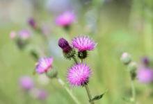 Photo of Le chardon, une plante qui ne manque pas de piquant