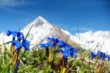 Gentiane bleue des montagnes