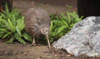 Le kiwi, l'emblème de la Nouvelle-Zélande