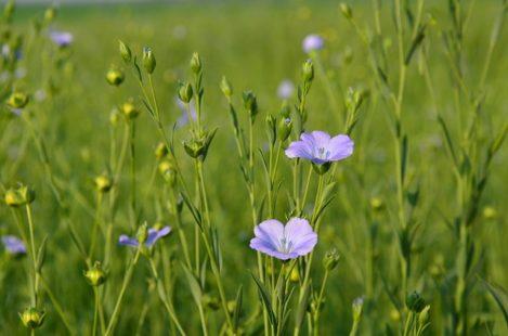 Le lin : une jolie petite fleur bleue !