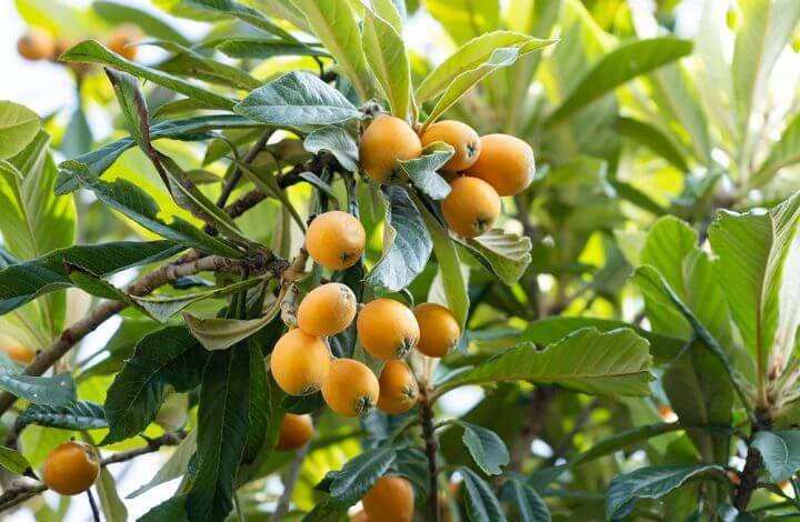 La nèfle : un fruit rare, mais délicieux