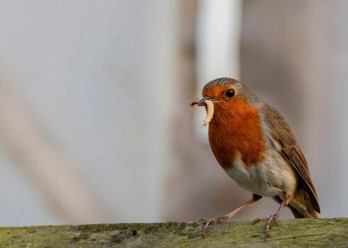 Photo of Le rouge-gorge, le joyeux compagnon du jardinier