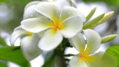Photo of La fleur de Tiaré : une fleur au parfum envoûtant qui invite au bien-être