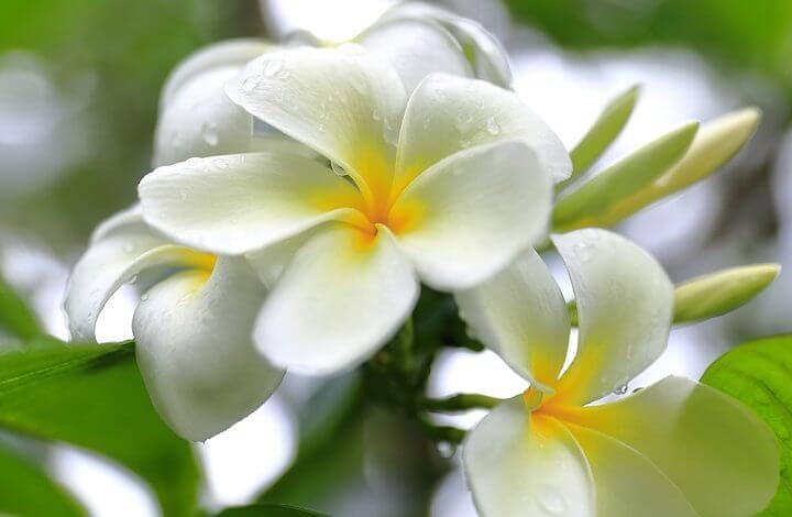 Fleur de Tiaré : envoûtante et symbolique