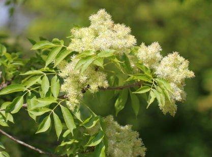 Un arbre aux nombreuses vertus pour la santé