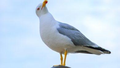 Photo of Le goéland, fier oiseau ou bête noire ?