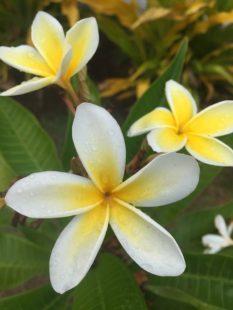 Fleur de Tiaré : une fleur aux multiples utilisations