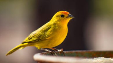 Photo of Canari : ce joli petit oiseau jaune