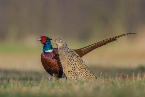 Mâle (plumage coloré) et femelle (sobre)