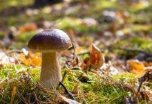 Photo of Le cèpe : un champignon célèbre à la saveur exceptionnelle