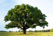 Photo of Découvrez les spécificités du chêne vert