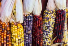 Photo of Le maïs : bienfaits santé et atouts nutritionnels de cette céréale célèbre