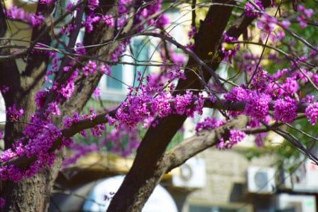 Une floraison exceptionnelle, avant l'apparition du feuillage
