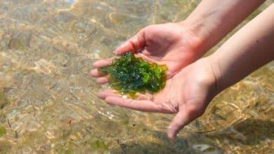 Photo of L'algue nori : une algue aux réels atouts santé !