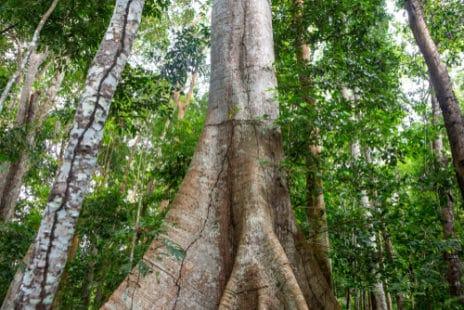 Le Ceiba pentandra : aussi nommé le fromager ou le kapokier