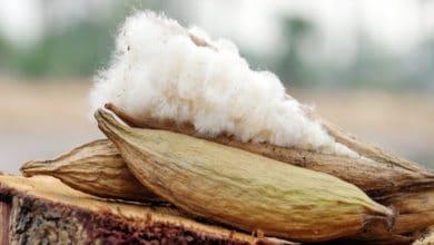 Photo of Le kapok : une fibre végétale réellement douce