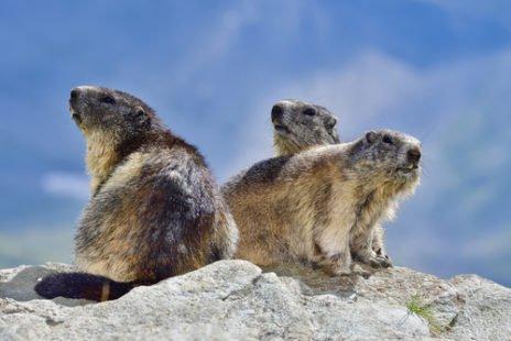 Une famille de marmottes