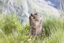 Photo of La marmotte, tout un symbole