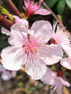 Fleur du brugnonier