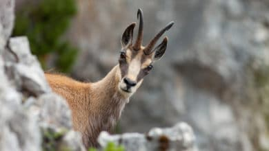Photo of Le chamois, le symbole des Alpes