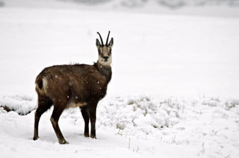 Sous la neige avec son pelage d'hiver