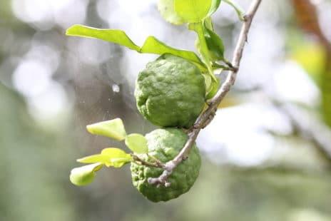 Les fruits encore sur l'arbre