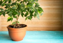 Photo of Ficus, la star des salons