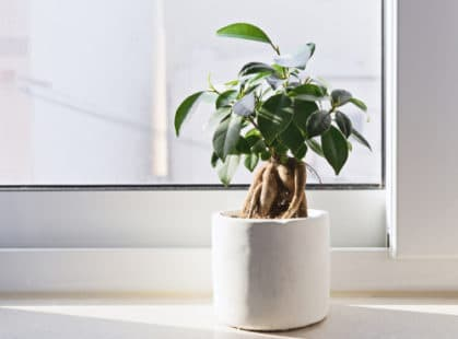 En version bonsaï, ici sur un rebord de fenêtre