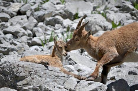 Une femelle et son chevreau