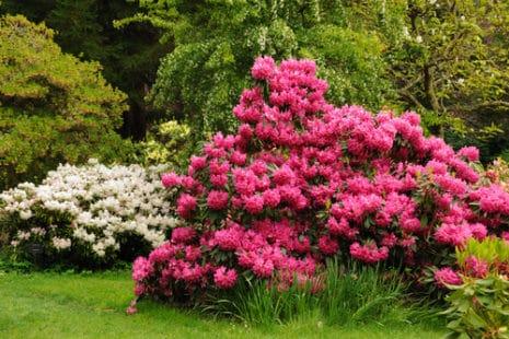Deux magnifiques rhododendrons en fleurs