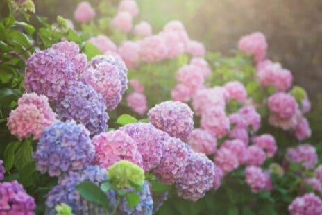 Des hortensias aux couleurs douces et lumineuses