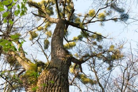 """Un arbre aux nombreuses """"grappes"""" de guis"""